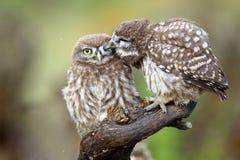 两只小猫头鹰雅典娜小猫头鹰坐被按的棍子互相反对 库存照片