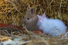 两只小的兔子吃一棵红萝卜 库存照片