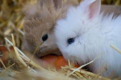 两只小的兔子吃一棵红萝卜 图库摄影