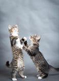 两只小的嬉戏的小猫 库存照片