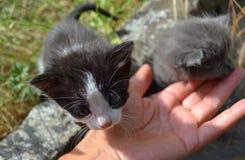 两只小的小猫和人的手 免版税图库摄影