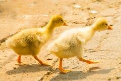两只小的小鸡 免版税库存照片