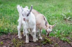 两只小的山羊在绿色grass_的庭院里吃草 库存照片