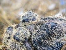 两只小的幼鸟 库存图片