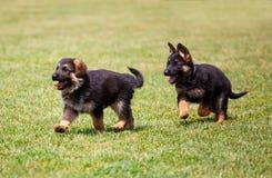 两只小的德国牧羊犬小狗 免版税库存图片