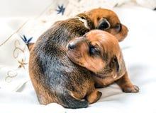 两只小的新出生的小狗 图库摄影