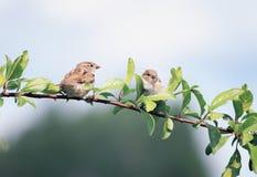 两只小的滑稽的鸟坐一个分支在春天在S从事园艺 免版税库存图片