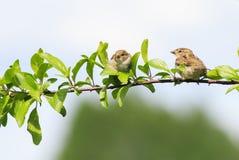 两只小的滑稽的鸟坐一个分支在春天在S从事园艺 库存照片