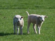 两只小的羊羔在春天期间的一个草甸在Moerkapelle 库存照片