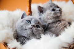两只小的英国小猫在篮子坐橙色背景 库存图片