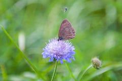 两只小的蓝色蝴蝶坐明亮的晴朗的黄色草甸 库存照片