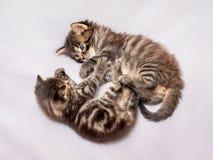 两只小的镶边小猫被演奏 滑稽的比赛和fun_ 免版税库存图片