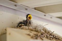 两只小的鸟尖叫 免版税库存图片
