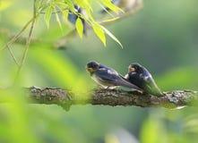 两只小的鸟燕子坐在一个池塘的一个分支a的 免版税图库摄影