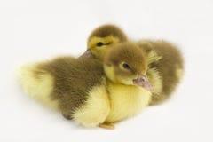 两只小的鸭子。 库存图片