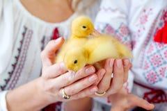 两只小的鸭子在母亲和女儿的手上白色背景的 库存图片