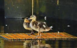 两只小的鸭子 免版税库存照片