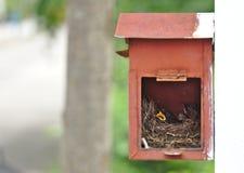 两只小的黑东方鹊知更鸟鸟在垂悬在白色墙壁上的老生锈的红色邮箱的小舒适棕色木巢放下 库存照片