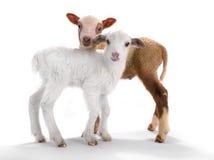两只小的绵羊 免版税库存照片
