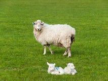两只小羊羔在有母亲绵羊的绿色草甸说谎 免版税库存照片