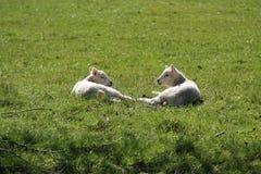 两只小羊羔 免版税库存图片