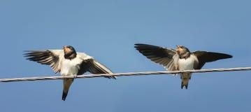 两只小鸡燕子坐等待父母的导线 免版税库存图片