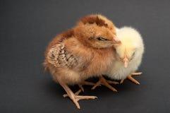 两只小鸡睡眠,倾斜在彼此 免版税库存照片