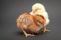 两只小鸡睡眠 免版税库存图片