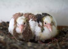 两只小鸡鸽子 免版税库存图片