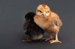 两只小鸡紧贴了一在别的 库存照片
