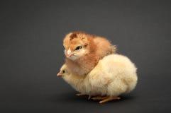 两只小鸡紧贴了一在别的 库存图片