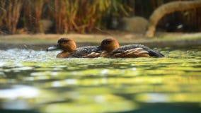 两只小鸭子在瀑布旁边的一条河 股票录像
