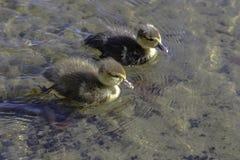 两只小鸭子游泳 免版税库存图片