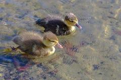 两只小鸭子游泳 库存照片