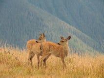 两只小鹿警告对危险 免版税图库摄影