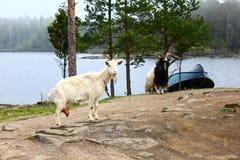 两只山羊和一条小船在海岛上 免版税库存图片