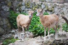 两只山羊在动物园里 免版税库存图片