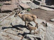 两只山羊在莫斯科动物园里 免版税库存照片