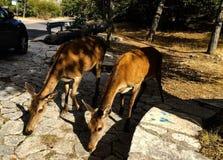 两只山羊在samaria峡谷在希腊 库存照片