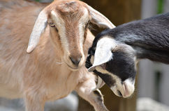 两只山羊 免版税库存图片