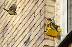 两只山雀帕鲁斯少校伟大的山雀和一个饲养者房子窗口的 免版税库存照片