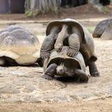 两只巨型乌龟,做爱的dipsochelys gigantea在海岛毛里求斯 交媾是这些动物的困难的努力,  免版税库存照片