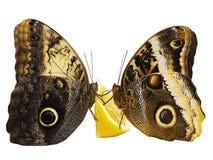 两只巨型猫头鹰蝴蝶在白色背景隔绝的橙色果子哺养 库存照片