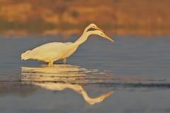 两只巨大白色苍鹭在软的早晨光的镇静水中钓鱼 免版税库存照片