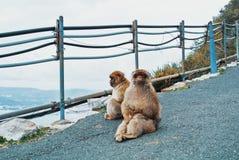 两只巴贝里猿短尾猿猴子坐地面沥青 库存照片