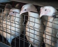 两只年轻烤焙用具小鸡在鸟舍坐在家禽场,特写镜头 免版税库存照片