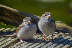 两只年轻雏鸟麻雀传球手domesticus,逗人喜爱的bab 库存图片