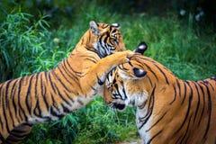 两只年轻马来亚老虎战斗 免版税库存照片