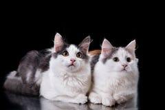 两只幼小三色猫 免版税库存照片