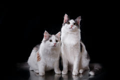 两只幼小三色猫 库存图片